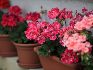 Planter geranium en pot
