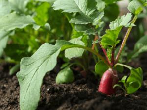 semis de radis en pot