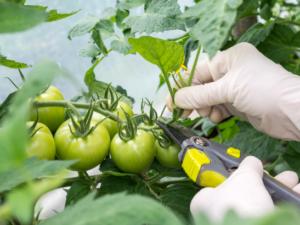 tailler les tomates facilement